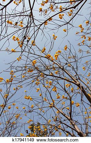 Stock Photograph of Yellow silk cotton tree flowers k17941149.