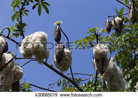 Stock Photograph of Silk Cotton Tree k30685019.