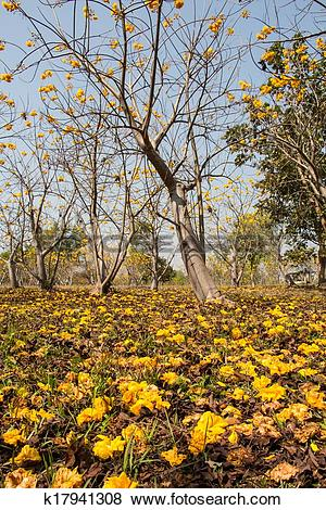 Pictures of Yellow silk cotton tree flowers k17941308.