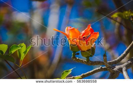 Silk Cotton Tree Stock Photos, Royalty.