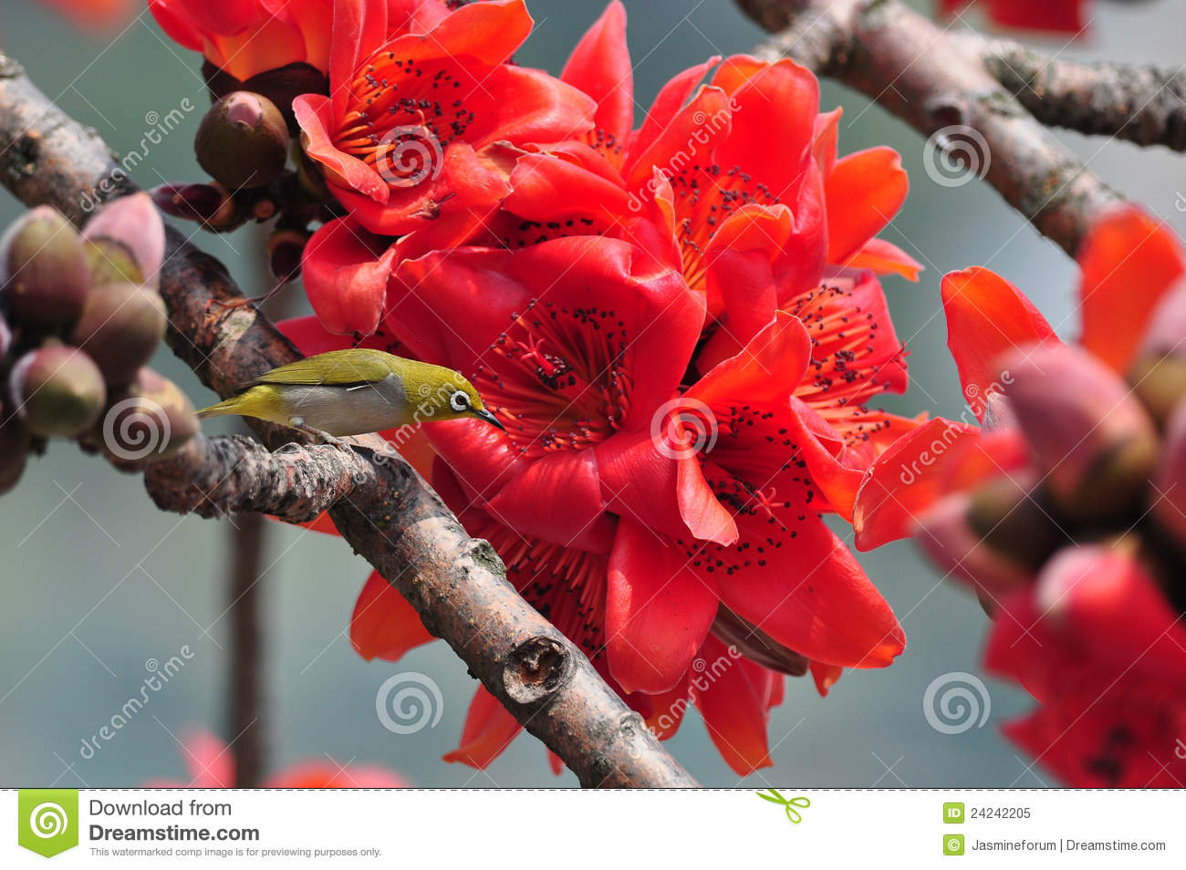 Japanese White Eye On Red Silk Cotton Tree Flower Royalty Free.