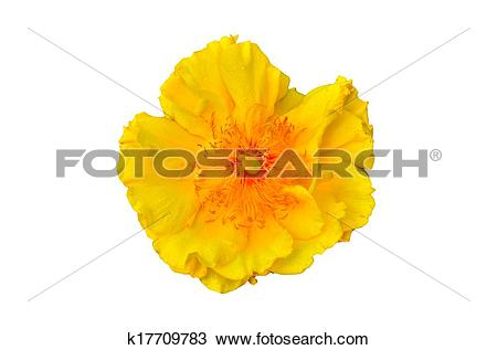 Stock Photo of Yellow silk cotton tree k17709783.
