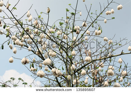 Cotton tree clipart.