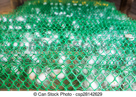 Stock Photo of Frame with silkworm cocoons at a silk factory.