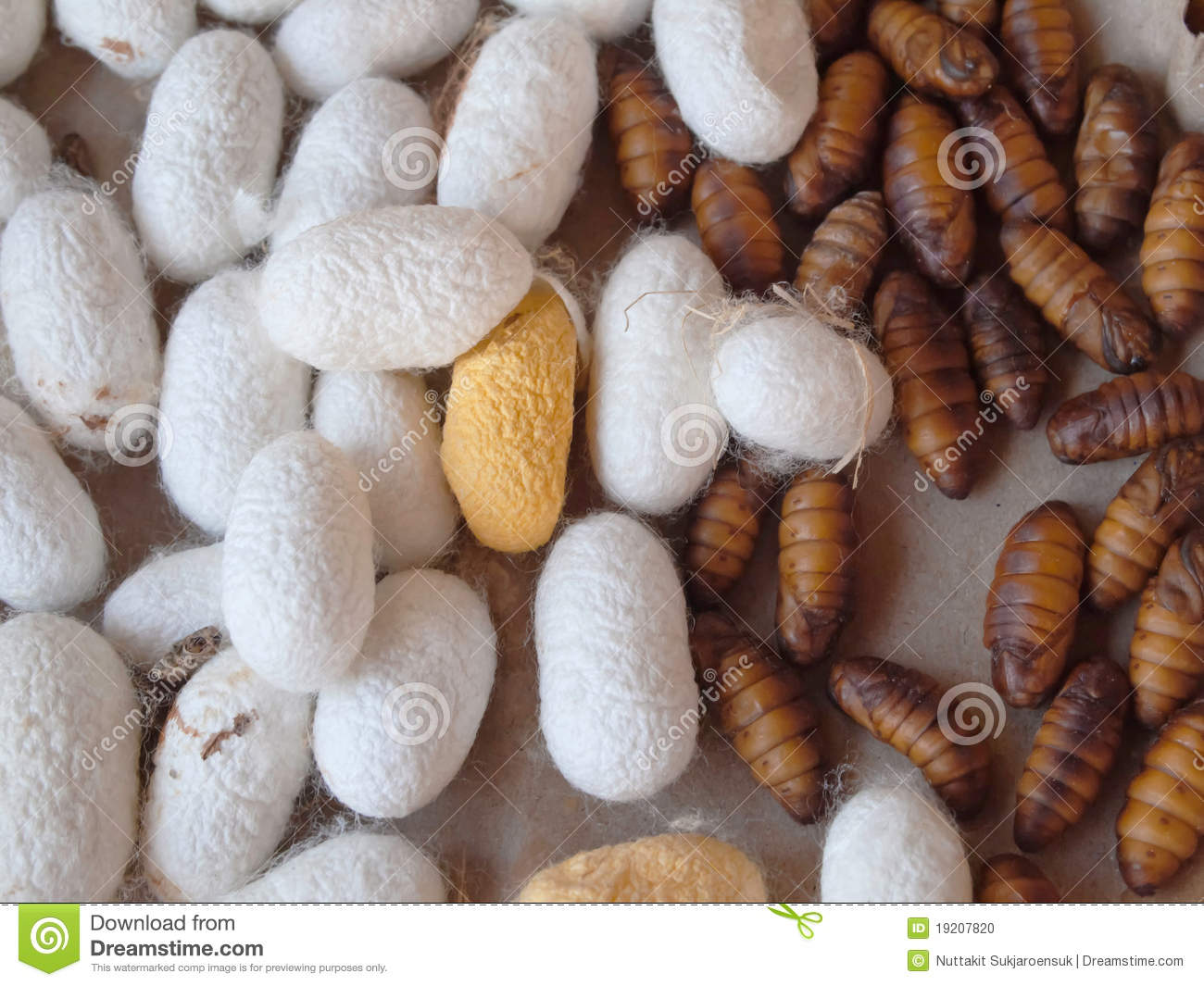 Cocoon Silkworm For Silk Production Stock Photo.