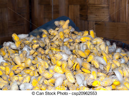 Stock Images of Silk worm cocoons in silk production factory in.