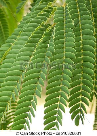 Stock Photos of Persian Silk Tree leaves.