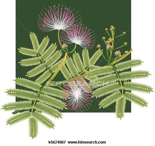 Stock Illustration of Mimosa silk tree blossoms k5624067.