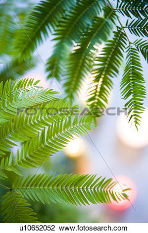Stock Photo of Persian Silk Tree leaves u10652052.