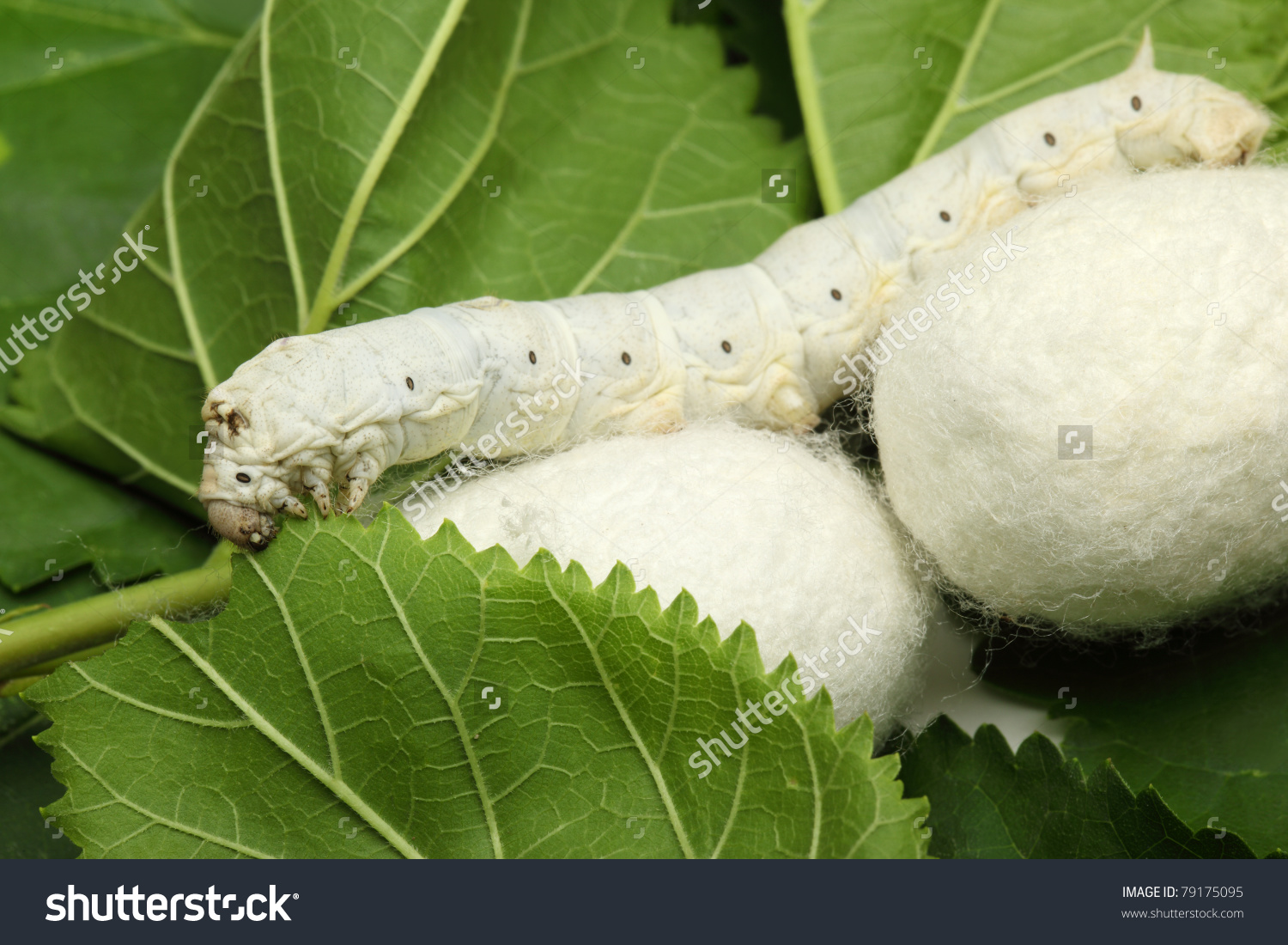 Silk Cocoons Silk Worm On Green Stock Photo 79175095.