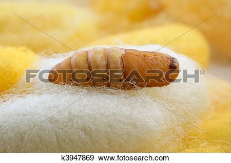 Stock Photograph of chrysalis silkworm on silk worm cocoon.
