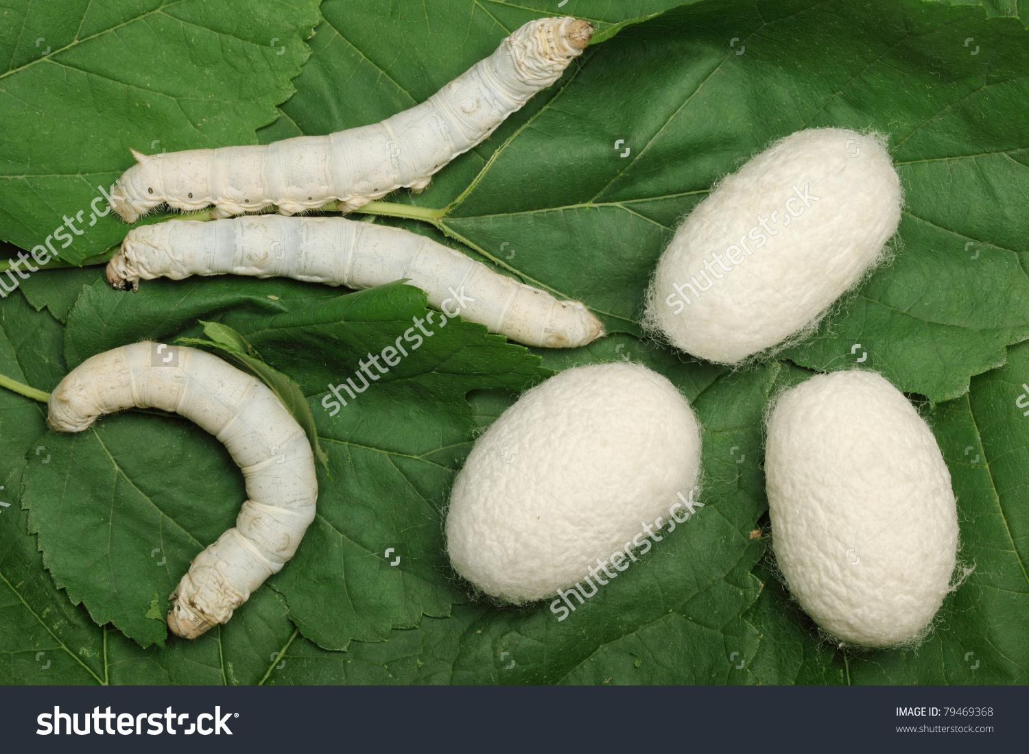 Silk Cocoons Silkworm On Green Mulberry Stock Photo 79469368.