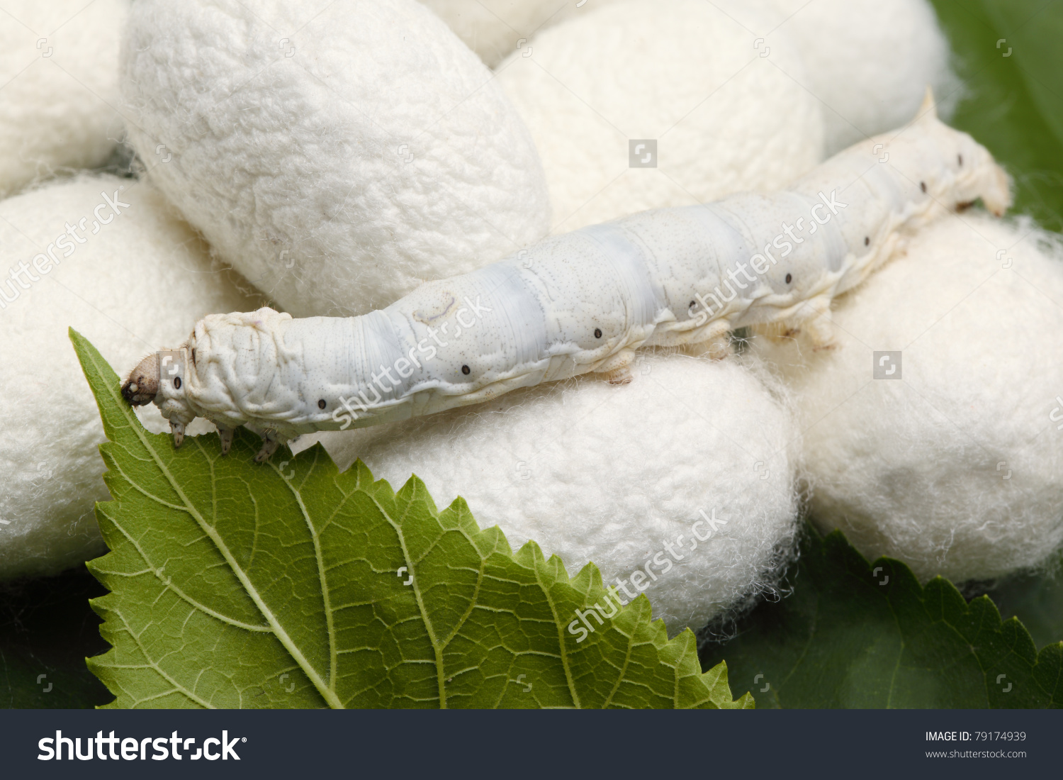 Silk Cocoons Silk Worm On Green Stock Photo 79174939.