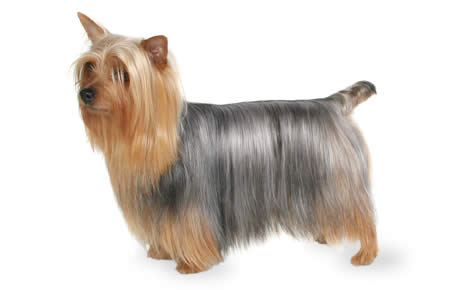 Silky Terrier Dog Breed Information, Pictures, Characteristics.