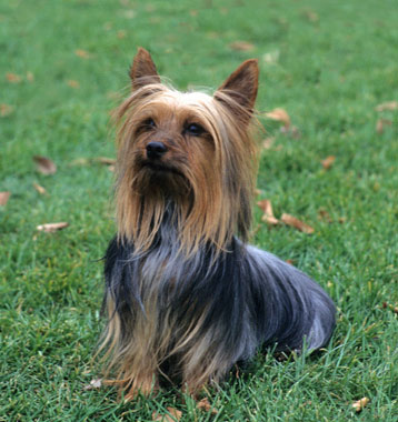 Silky Terrier Dog Breed Information.