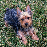 Australian Silky Terrier.