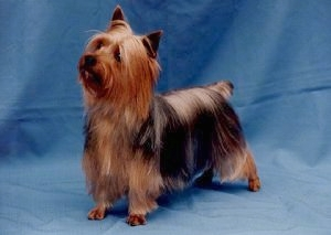 Silky Terrier Dog Breed Information and Pictures.