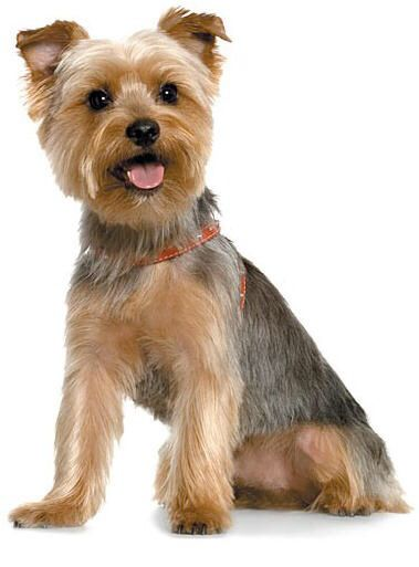 25+ best ideas about Silky Terrier on Pinterest.