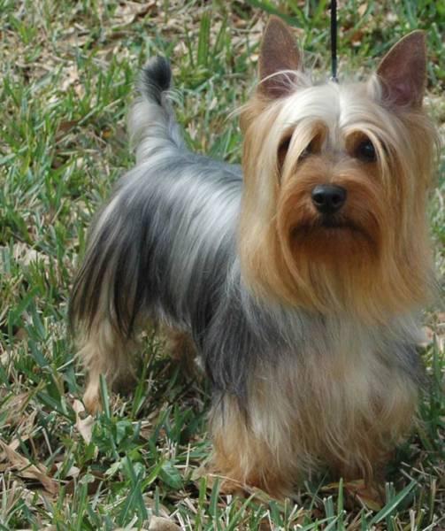 25+ best ideas about Silky Terrier on Pinterest.