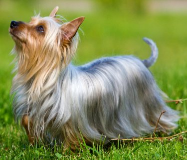Silky Terriers: What's Good About 'Em? What's Bad About 'Em?.