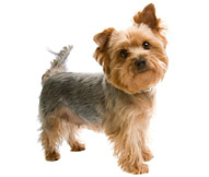 Silky Terrier Dog Breed.