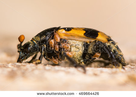 Silphidae Stock Photos, Royalty.