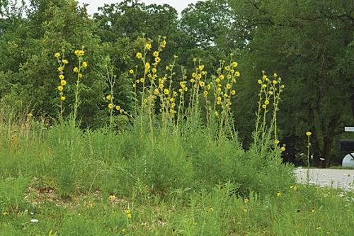 Compass Plant (Silphium laciniatum).