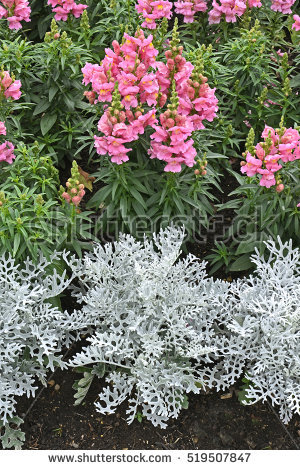 """senecio Cineraria"" Stock Images, Royalty."