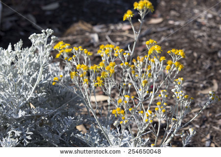 Silver Ragwort Stock Photos, Royalty.