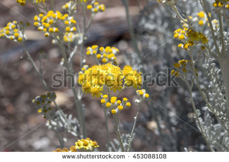 Senecio Stock Photos, Royalty.