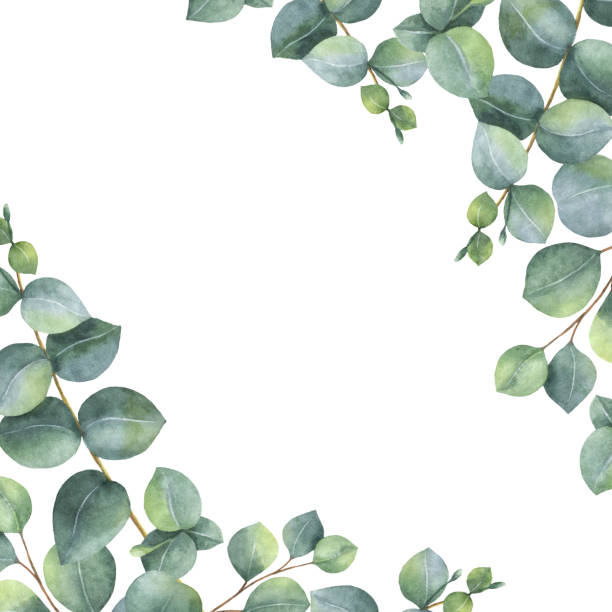 Eucalyptus Leaves Clipart.