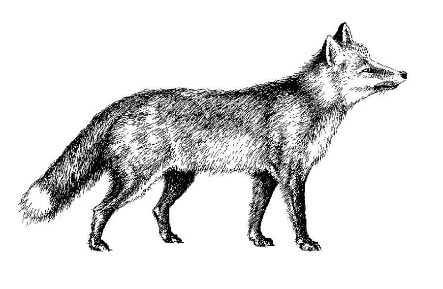 Fox clipart ,silver foxx.