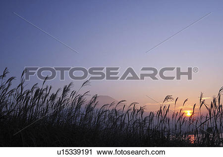 Stock Photography of Japanese Silver Grass (Japanese Silver Grass.
