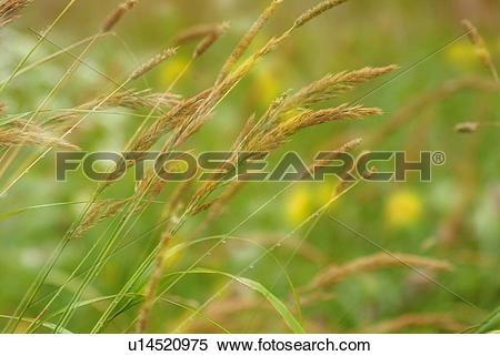 Stock Image of Silver grass in field, close up, differential focus.