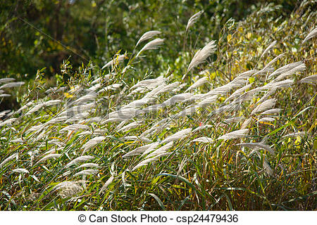 Stock Photos of silver grass with wind.