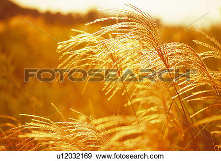 Stock Photograph of Field of Japanese silver grass, close up.