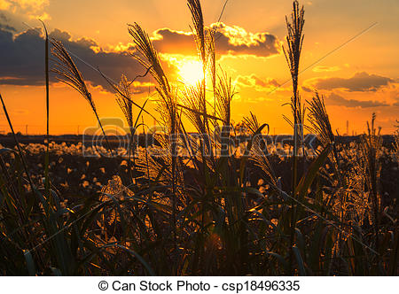 Stock Photos of sunset with silver grass silhouette.