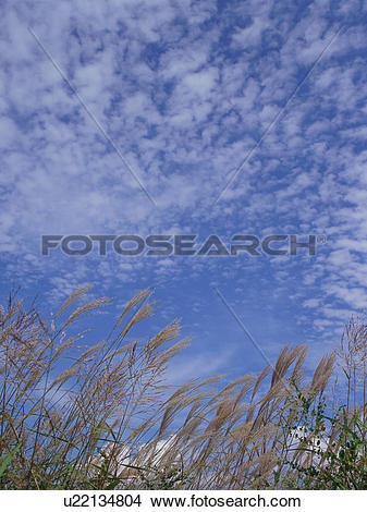 Stock Photo of Japanese silver grass, Nobeyama Plateau, Nagano.