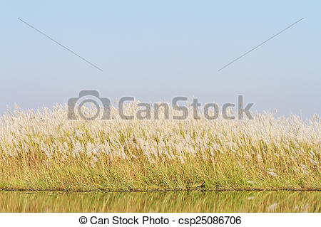 Stock Photography of Chinese silver grass against the blue sky.