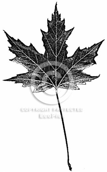 Silver Maple clip art.