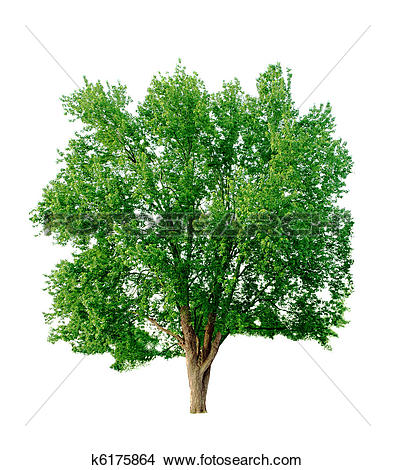 Stock Photo of Silver Maple k6175864.