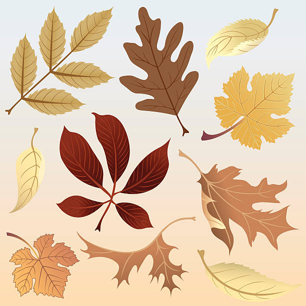 Silver Maple Clip Art, Vector Images & Illustrations.
