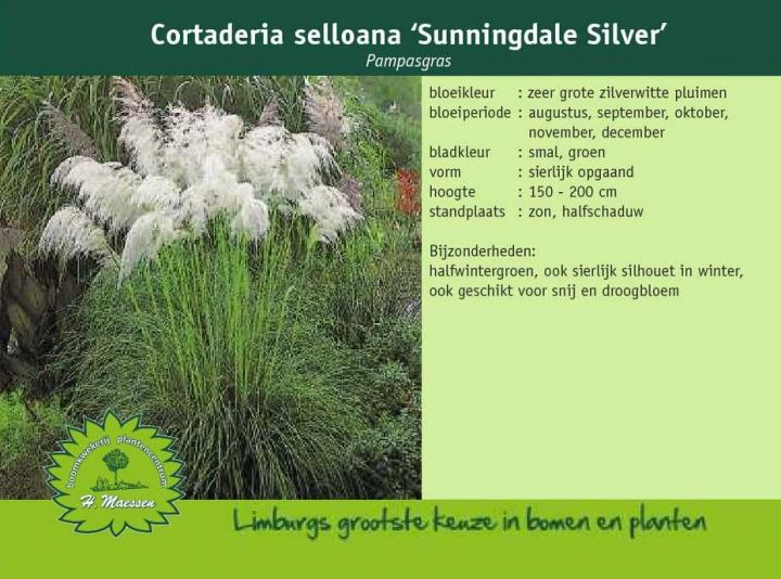 Cortaderia selloana 'Sunningdale Silver'.