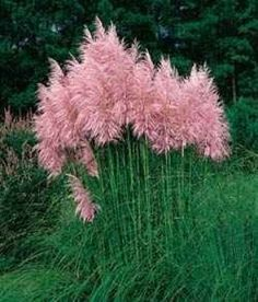 pink pampas grass .. I hear there's a northern variety that.