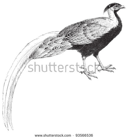 Silver Pheasant Stock Photos, Royalty.