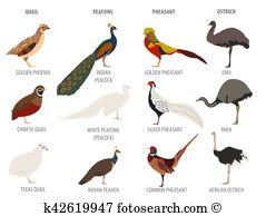 Silver pheasant Clipart EPS Images. 14 silver pheasant clip art.