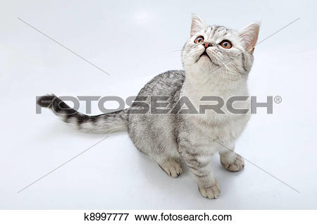Picture of adorable silver tabby Scottish cat looking up k8997777.