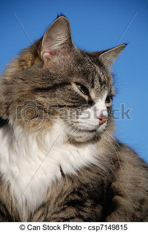 Stock Images of Silver tabby cat.