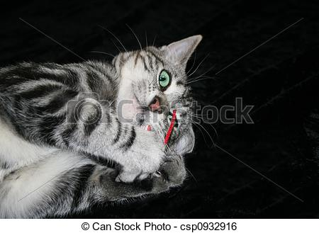 Stock Image of Silver Tabby Kitten Playing with Red Mouse.