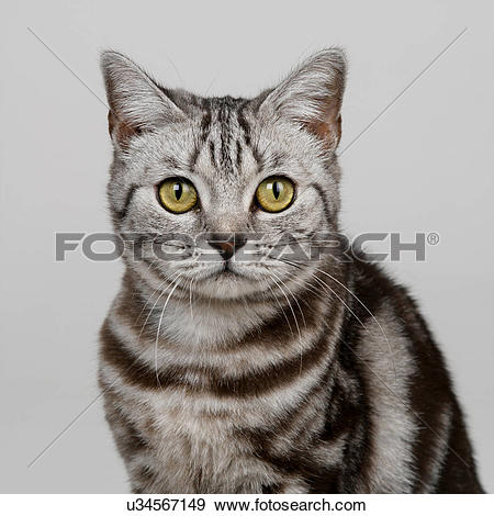 Stock Photograph of Portrait of silver tabby u34567149.